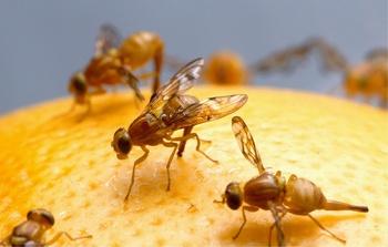 Fruchtfliegen vermeiden und erfolgreich bekämpfen