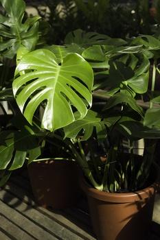Monstera, Fensterblatt richtig pflanzen, pflegen und vermehren