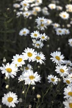 Margeriten pflanzen, pflegen, vermehren und schneiden