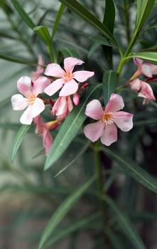 Oleander richtig pflegen, schneiden, düngen und überwintern