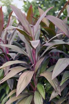 Keulenlilien (Cordyline) pflanzen und pflegen