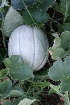 Melonen säen, anbauen, pflegen und ernten