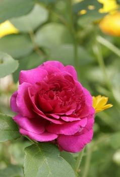 Mit diesen Pflanzen gelingt ein Rosenbeet