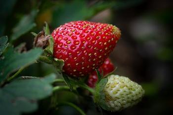 Erdbeeren vermehren – so gelingt es!