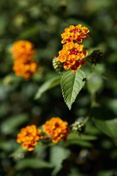 7 blühende Kübelpflanzen, die Sonne und  Hitze aushalten