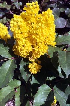 Mahonien im Garten richtig pflanzen und pflegen