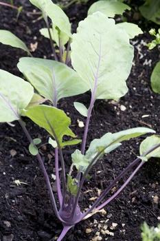 Kohlrabi vorziehen, auspflanzen und pflegen