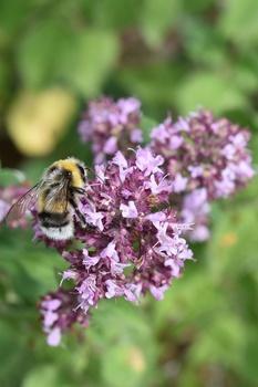 Bienenfreundliche Bodendecker