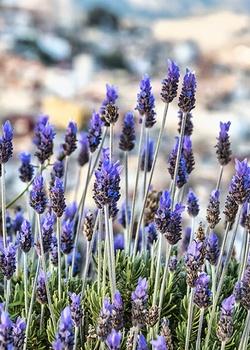Lavendel überwintern – so gelingt es im Topf und Beet