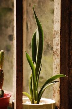 Bogenhanf vermehren durch Ableger oder Stecklinge