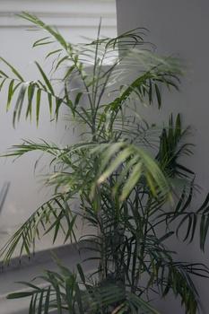 Bergpalmen pflanzen und pflegen