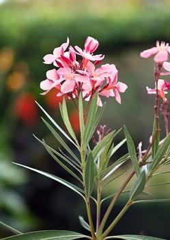 Oleander überwintern – so gelingt es