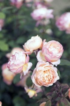 Rosen nach der Blüte pflegen