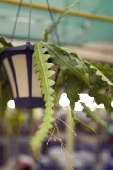 Sägeblattkaktus - Epiphyllum anguliger