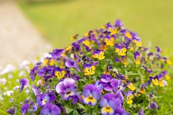 Jetzt wird durchgeblüht - einjährige Blumen im Blumenbeet