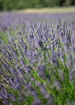Mein Lavendel blüht nicht – woran kann es liegen?