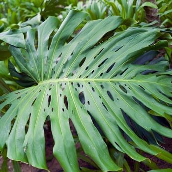 Zimmerpflanzen mit großen Blättern