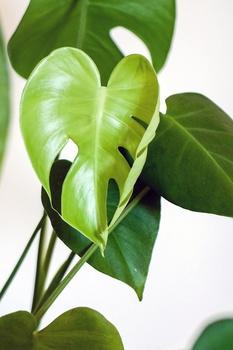 Monstera, Fensterblatt ganz einfach vermehren