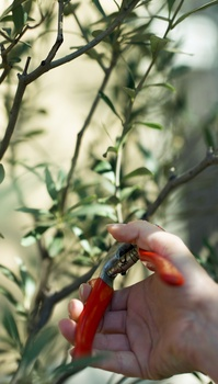 Olivenbäume schneiden