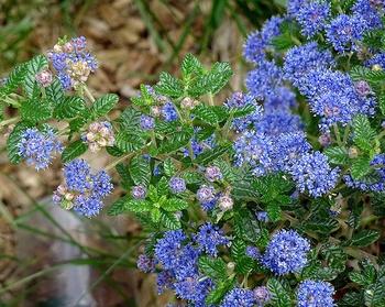 Niedrige, blühende Sträucher für kleine Gärten