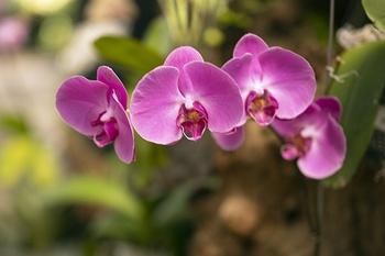 7 Gründe, warum Orchideen nicht blühen