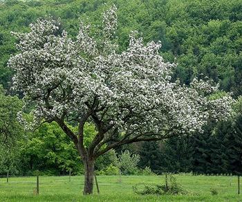Die 9  schönsten Bäume als natürliche Schattenspender