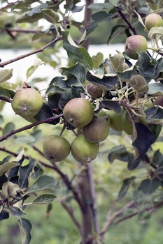Bodenmüdigkeit bei Obstgehölzen vermeiden