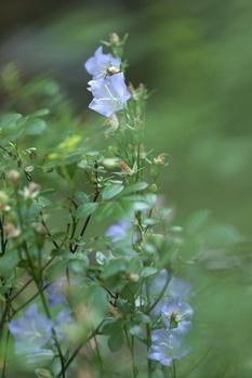 Glockenblume pflegen