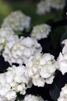 4 Tricks für Hortensien mit vielen Blüten