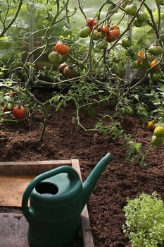 Tomaten richtig gießen