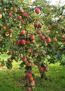 Mein Apfelbaum blüht nicht – das kannst du dagegen tun