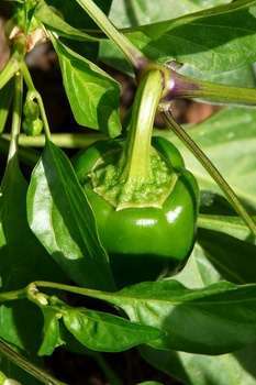 Paprika pflanzen und pflegen