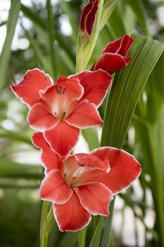 Die schönsten Zwiebelblumen für den Sommer