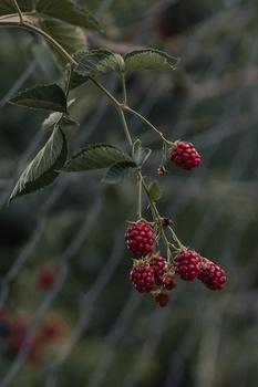 Brombeeren pflanzen, pflegen & empfehlenswerte Sorten