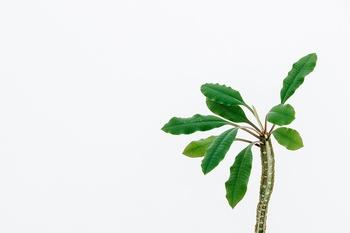 Ansehnliches Madagaskar Juwel: Spuckpalme pflanzen, pflegen & vermehren