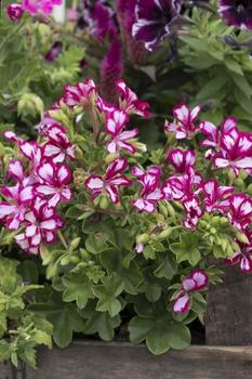 Geranien richtig pflanzen, pflegen und überwintern