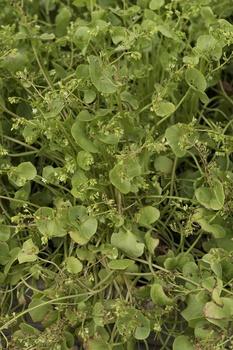Portulak pflanzen und pflegen