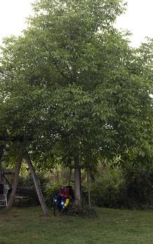 Nussbaum, Walnuss pflanzen, pflegen, ernten