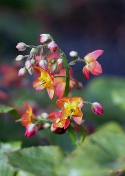 Elfenblume: Alles zum Pflanzen und Pflegen des robusten Bodendeckers