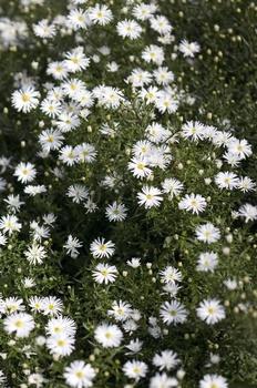 Weiße Blumen für schattige Beete