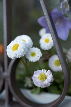 Frostharte Balkonpflanzen