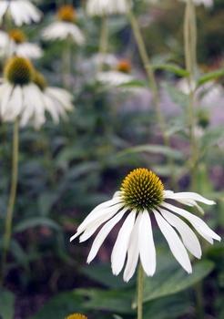 Sonnenhut Echinacea – Standort, Pflege, Sorten, schneiden, teilen