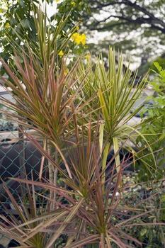 Drachenbaum (Dracaena) richtig pflegen, gießen und vermehren