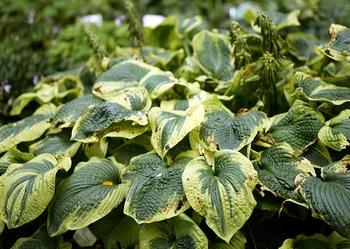 Funkien pflanzen, pflegen & vermehren - Alles zu Sortenvielfalt,  Standort