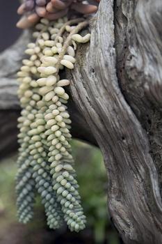 Schlangen-Fetthenne, Sedum morganianum