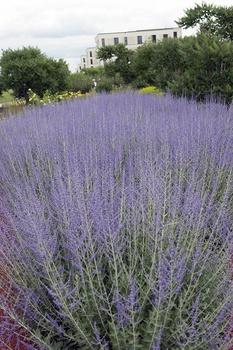 Winterhart und bienenfreundlich: Blauraute pflanzen, pflegen & vermehren