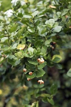 Immergrüne Kletterpflanzen