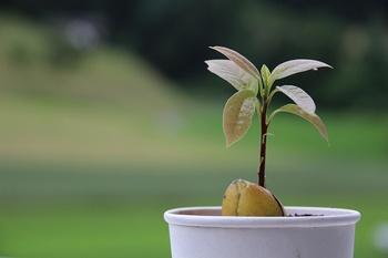 Avocado Pflanze schneiden – so geht es richtig