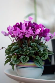 Zimmerpflanzen, die im Winter blühen