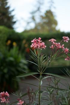 Oleander umtopfen
